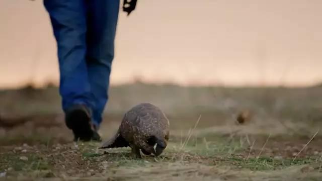 BBC纪录片揭开残忍真相:人类贪婪的背后,是一个物种的灭绝
