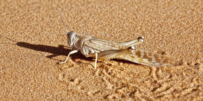 4000亿沙漠蝗虫搅动资本市场最新消息:印度当前蝗灾已基本结束