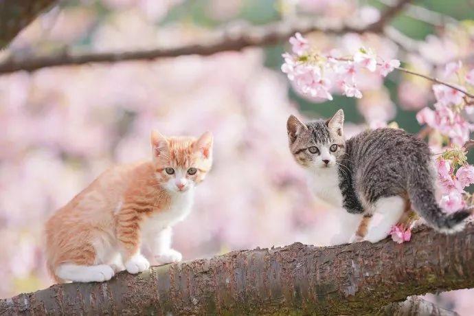 日本推主拍下了小奶猫赏樱的画面,网友们的心都被暖化了