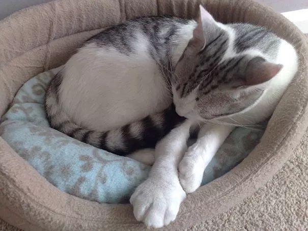 网友家猫被蜜蜂教育了,好好的猫jio变成了…
