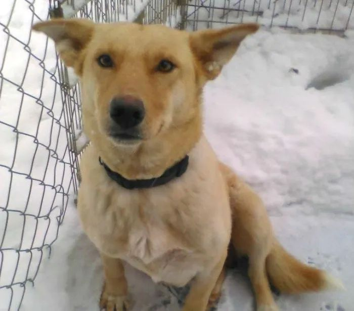 狗狗用体温在雪地融出一个小窝,志愿者翻开它的肚子后哭了