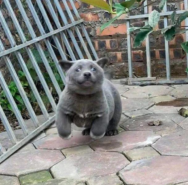 英短蓝狗:全网都在怀疑这只狗砸的老爸是一只猫!