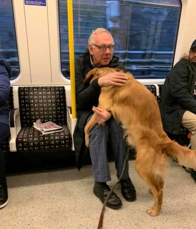 """大金毛坐地铁遇到了""""真爱"""",铲屎官:感觉自己是偷狗的!"""