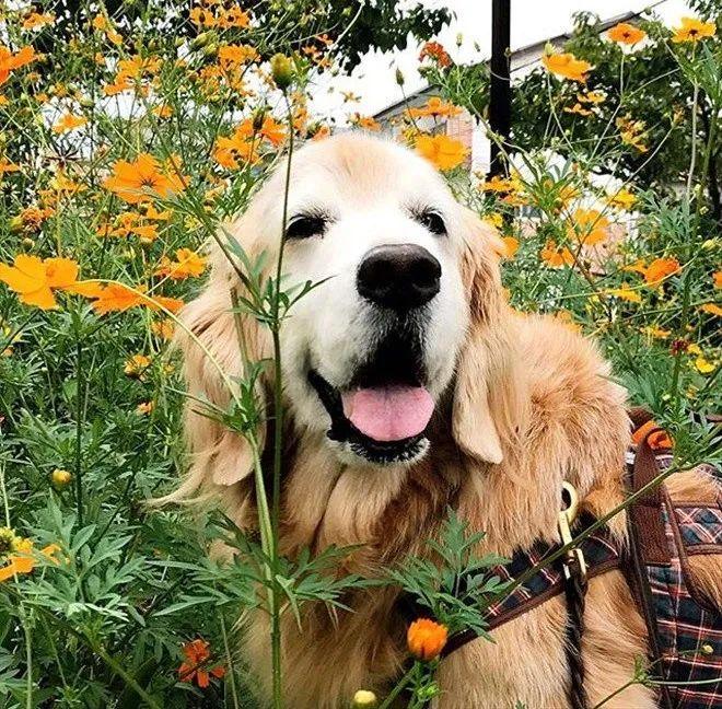 15岁的大金毛,这个样子比小奶狗还要萌!
