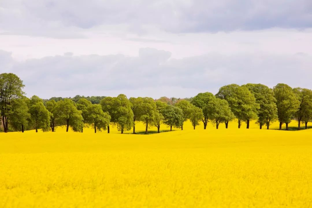 斯科纳的黄