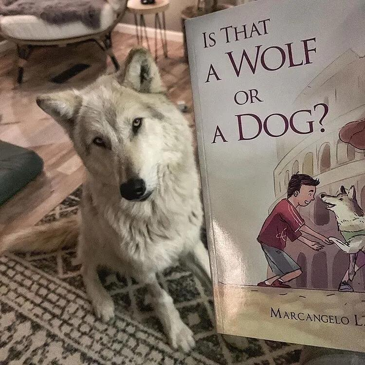 """""""自从养了狼犬,我每天都要跟路人解释,这真的不是狼……"""""""