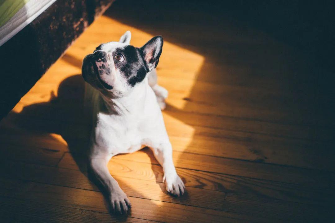 CKU教你选狗,新手养狗就从这10种内里选,妥妥的!