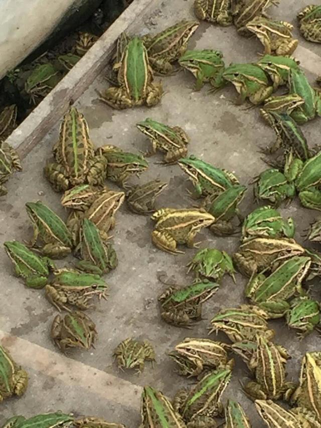 青蛙怎么养殖方法(养蛙技术指南)