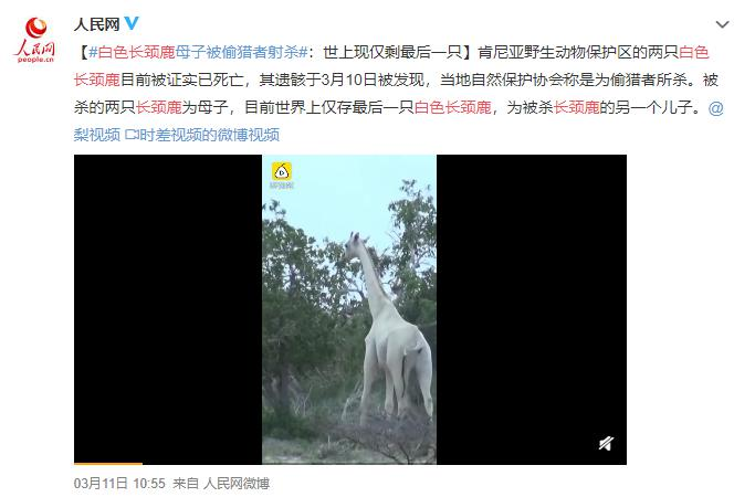 全世界仅剩最后一只!肯尼亚珍稀白色长颈鹿惨遭猎杀