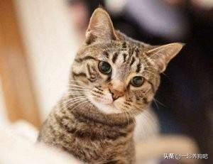 中华田园猫价格多少钱一只(中华田园猫价格列表)