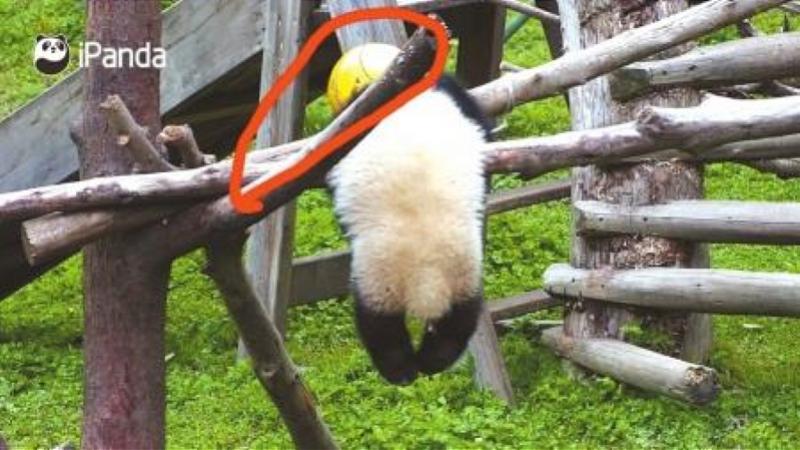 """三问熊猫""""禄禄仔""""之死:为何两度错失救助机会,管理是否有疏漏"""