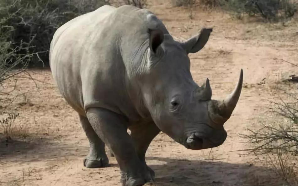 披毛犀角百科:犀牛角的真假鉴别!看这篇就够了!!