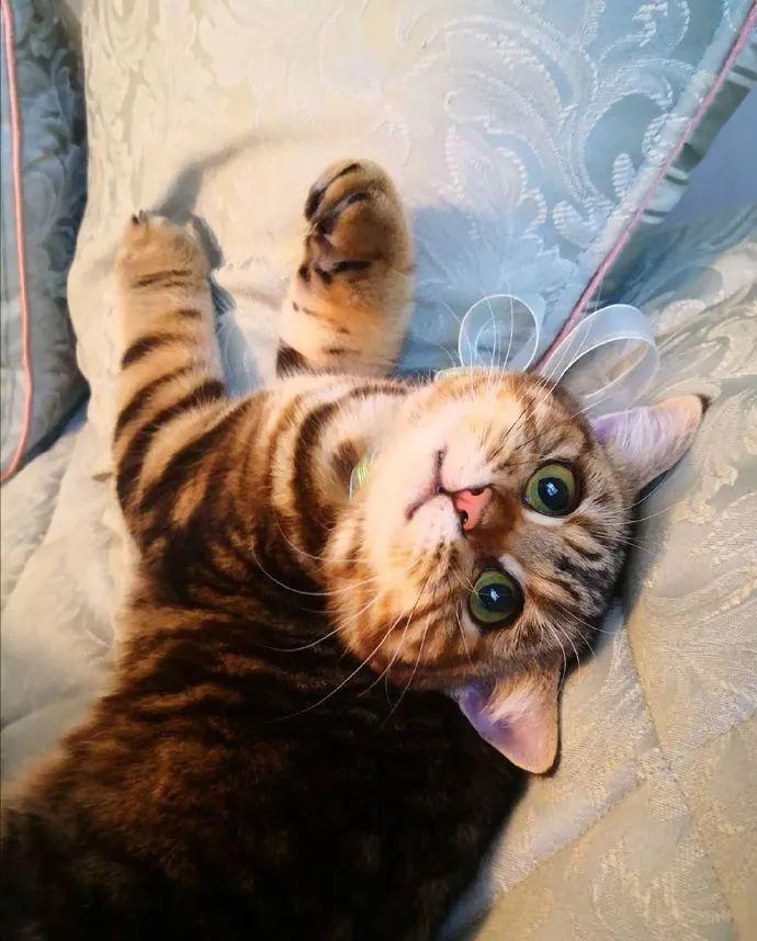 一只叫 Maple的小猫咪