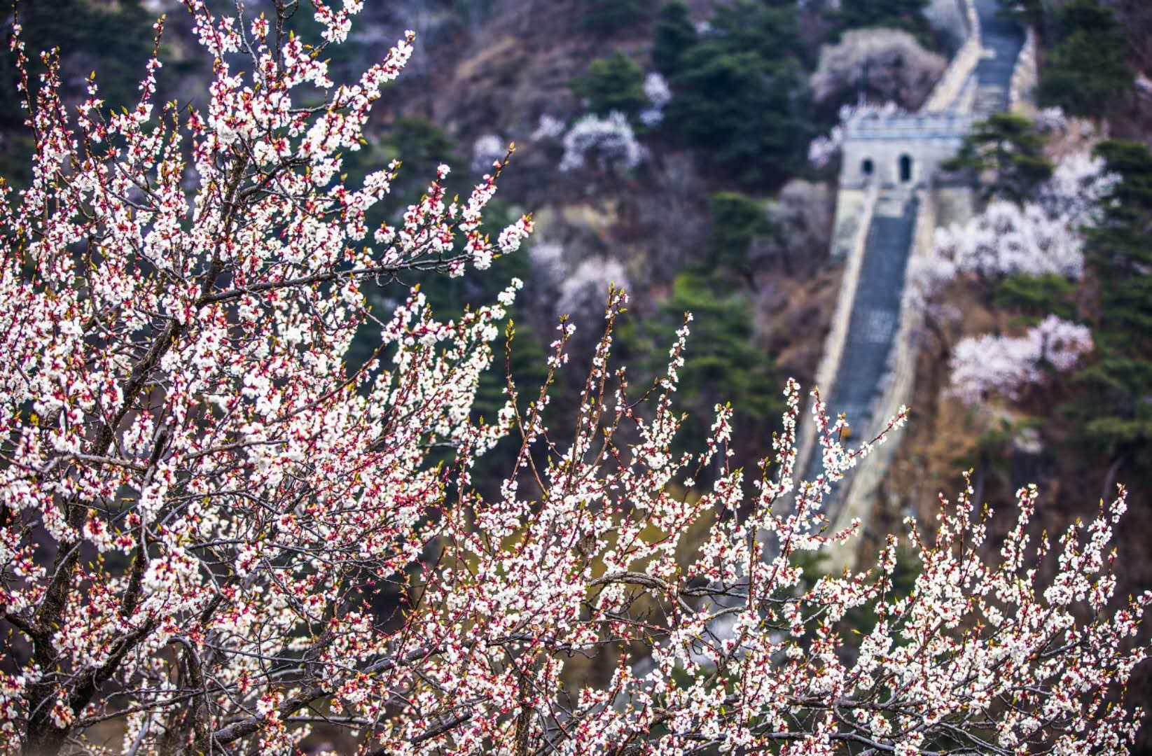 赏壮阔春色,在北京慕田峪长城相见