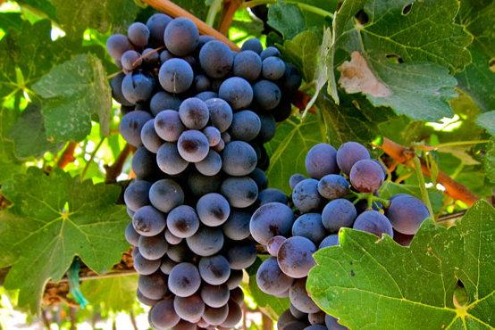 巴贝拉葡萄
