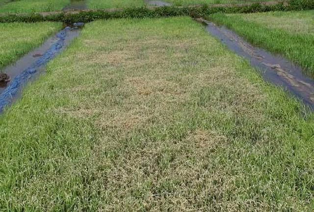 水稻立枯病的发生的因素与防治办法