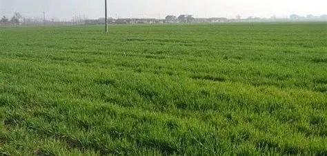 小麦播种时,地下害虫如何防治?这样用药效果好!