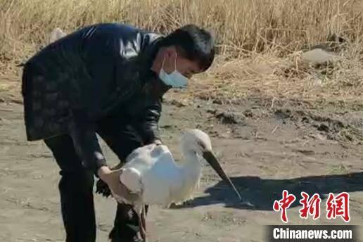 东方白鹳迁徙途中骨折 幸遇黑龙江爱鸟人获救