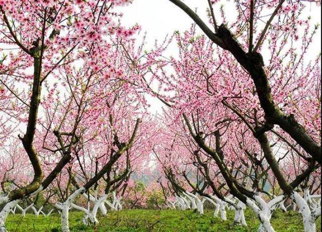 桃花盛放美如画
