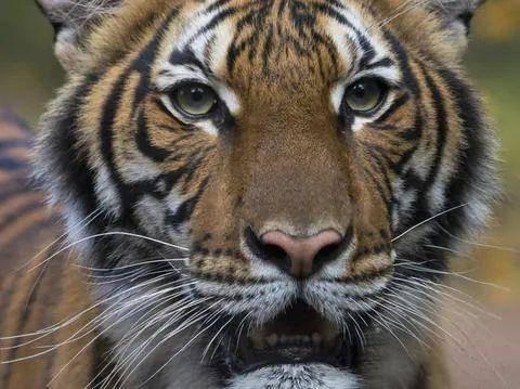 多伦多动物园开始对老虎采取防护措施