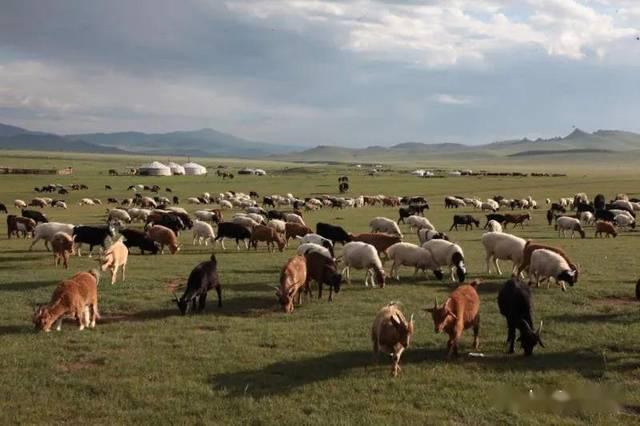 蒙古国送的3万只羊什么时候赶过来?准信儿来了!