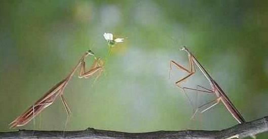 为什么螳螂交配母的会吃掉公的?原因让人难以理解