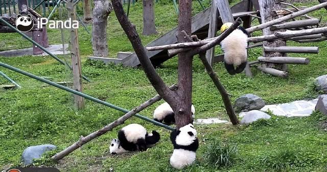 """熊猫""""禄禄仔""""死亡背后:断奶不久移至幼儿园"""