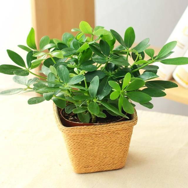 澳洲鸭脚木,叶色翠绿、叶形独特,盆栽要如何管理呢?