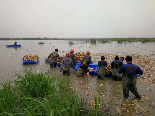 江西:70万斤藕种开始投放 只等白鹤归来