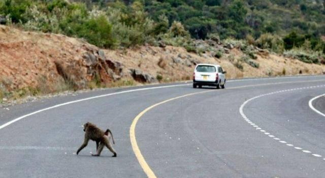 """高速上偶遇""""动物""""乱跑,该撞上去还是该绕道?交警:再说一遍"""