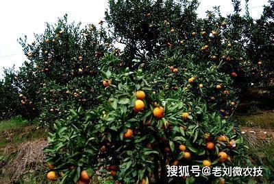 柑橘种植过程中的大坑!稍不注意就会害死你家