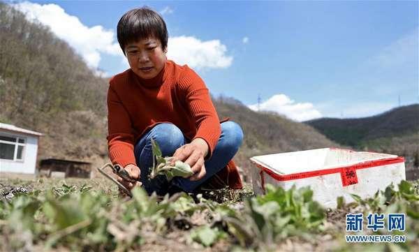 辽宁本溪:山乡野菜富农家